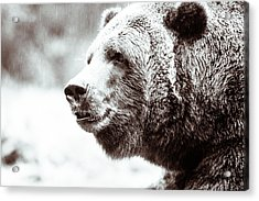 Grizzly In Black And White Acrylic Print by Wade Brooks