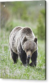 Grizzly Looking For Flowers To Eat Acrylic Print