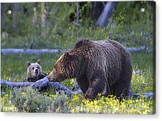 Grizzly Sow And Cub Acrylic Print