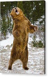 Grizzly Standing Acrylic Print by Jerry Fornarotto