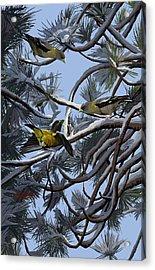 Grosbeaks On Tree Limbs Acrylic Print