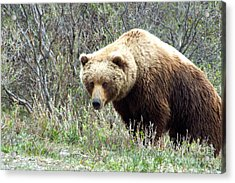 Grouchy Grizzly Acrylic Print