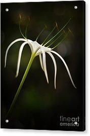 White Spider Flower Acrylic Print