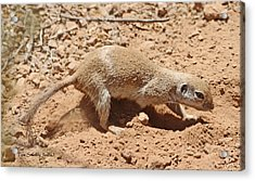 Ground Squirrel Digging A Hole In The Hot Desert Acrylic Print by Tom Janca