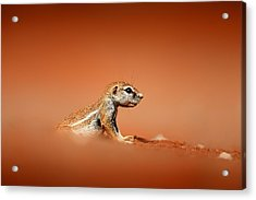 Ground Squirrel On Red Desert Sand Acrylic Print