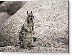 Ground Squirrel Raising A Ruckus Acrylic Print