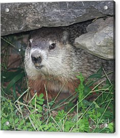 Groundhog Hiding In His Cave Acrylic Print