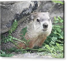 Groundhog Making Sure It Is Safe Acrylic Print by John Telfer