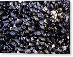 Group Of Mussels Close Up Acrylic Print
