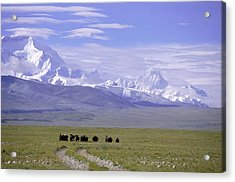 Group Of Yaks Walk Across A Green Acrylic Print