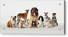 Group Portrait Of Dogs Acrylic Print by Compassionate Eye Foundation/david Leahy