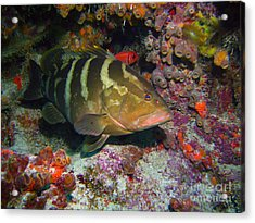 Grouper Acrylic Print by Carey Chen