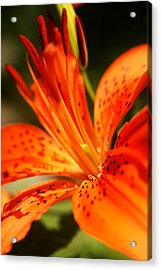 Growing Flame Acrylic Print by Kim Lagerhem