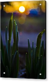 Growing In The Late Evening Sun Acrylic Print