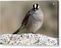 Grumpy White Crowned Sparrow Acrylic Print