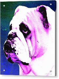 Grunt - Bulldog Pop Art By Sharon Cummings Acrylic Print