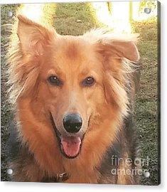 #gsd #germanshepherd #germanshepherddog Acrylic Print by Isabella F Abbie Shores FRSA