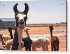 Guard Llama Acrylic Print by Melany Sarafis