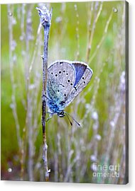 Guilded Blue Acrylic Print