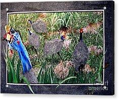 Guinea Fowl In Guinea Grass Acrylic Print by Sylvie Heasman