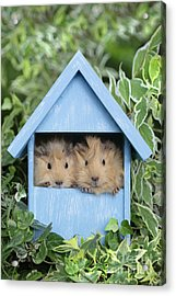 Guinea Pig In House Gp104 Acrylic Print by Greg Cuddiford