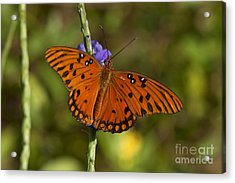 Acrylic Print featuring the photograph Gulf Fritillary Butterfly by Meg Rousher