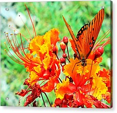 Gulf Fritillary Butterfly On Pride Of Barbados Acrylic Print
