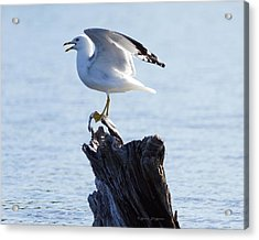 Gull - Able Acrylic Print by Steven Clipperton