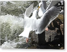 Gull Greeting Acrylic Print