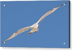 Gull In Flight  Acrylic Print
