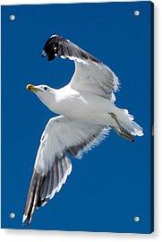 Gull In Flight Acrylic Print by Karen E Phillips