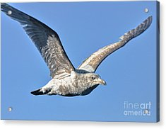 Gull Wings Acrylic Print by Phillip Garcia