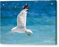 Herring Gull With Fish Acrylic Print