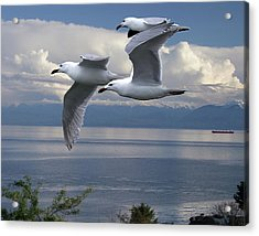 Gulls In Flight Acrylic Print