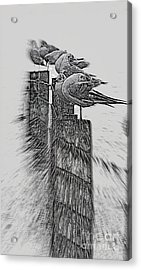 Gulls In Pencil Effect Acrylic Print by Linsey Williams