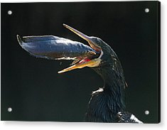 Gulp Acrylic Print by Doug McPherson