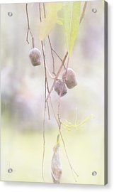 Acrylic Print featuring the photograph Gum Nuts by Elaine Teague