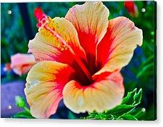 Gumamela1 Acrylic Print