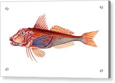 Gurnard Acrylic Print by Collection Abecasis