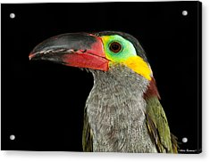Acrylic Print featuring the photograph Guyana Toucanette by Avian Resources