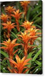Guzmania Sanguinea Flowers Acrylic Print