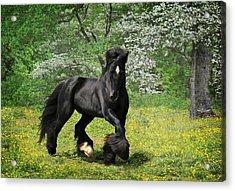 Gypsy Stallion Shadow Acrylic Print by Fran J Scott