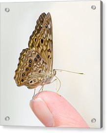 Hackberry Emperor On Finger Acrylic Print by Melinda Fawver