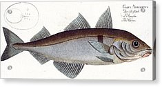 Haddock Acrylic Print by Andreas Ludwig Kruger