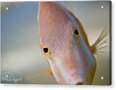 Hai There Acrylic Print by Guinapora Graphics