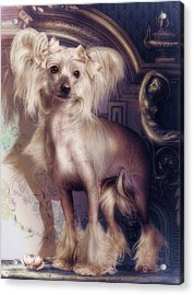 Hair Less Chinese Acrylic Print by Cindy Grundsten