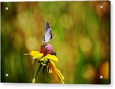 Hairstreak Butterfly On A Brown-eyed Susan Acrylic Print by Lorri Crossno