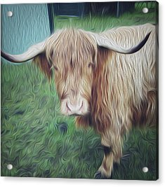 Hairy Cow Acrylic Print by Les Cunliffe
