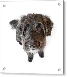 Hairy Dog Photographic Caricature Acrylic Print by Natalie Kinnear
