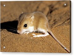 Hairy-footed Gerbil Acrylic Print by Louise Murray/science Photo Library
